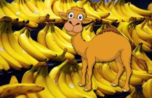 bananas-camel